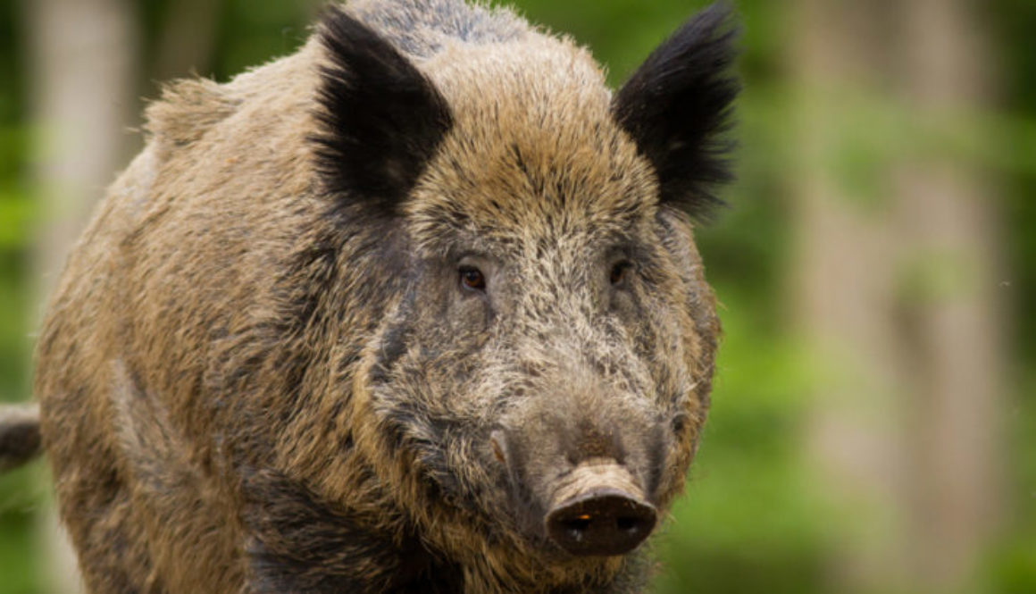 "A Different kind of ""Half-Life"" – Radioactive Boars from Chernobyl and Fukushima"